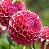 夏の花6 (ダリア)