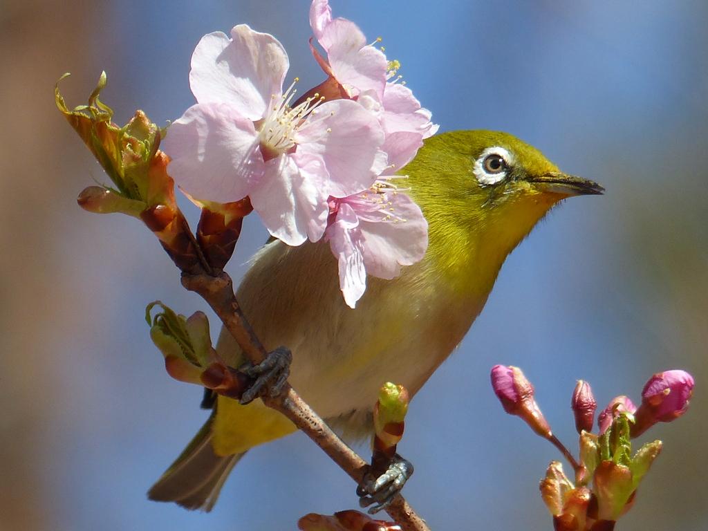 春3(河津桜とメジロ3)