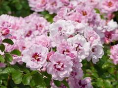 春のバラ園で3