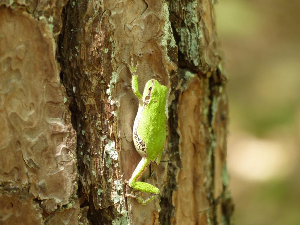 木登りカエル