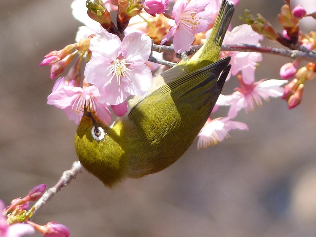 春4(河津桜とメジロ4)