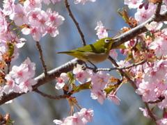 春6(河津桜とメジロ6)