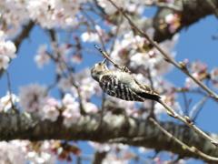 春7(桜コゲラ)