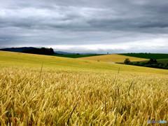 続く続く麦の丘
