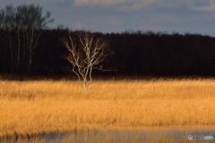 湿原の木..に