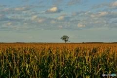 トウキビ畑の向こうの-木-