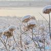 冬の枯れ花