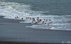 海のシギたち