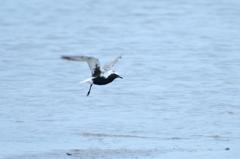 片足の旅鳥
