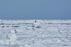 氷海のワシ