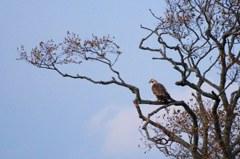 猛禽の秋-クマタカ