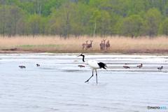 湖畔の若鳥