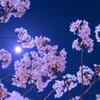 Sakura * Moonshine