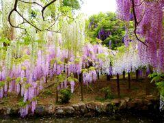 奈良天平の藤