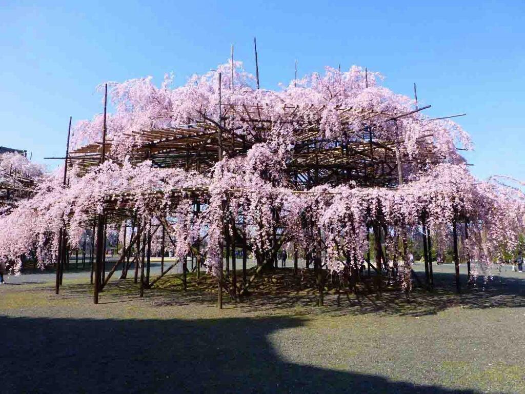 奈良山の辺の道の超巨大桜