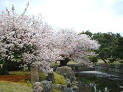 京都二条城の枝垂れ桜