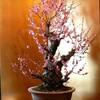 奈良郡山城の盆梅展