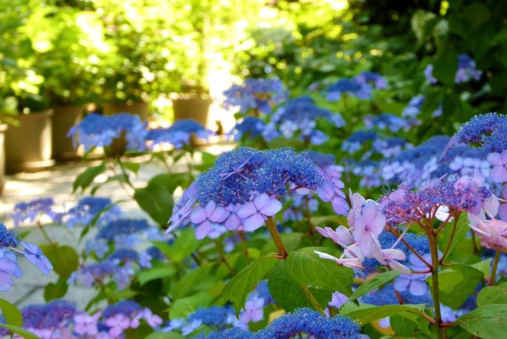 坐摩神社(いかすりじんじゃ)の紫陽花