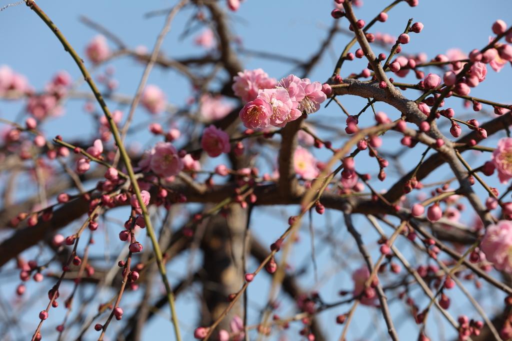 2月13日 岡本梅林公園 11