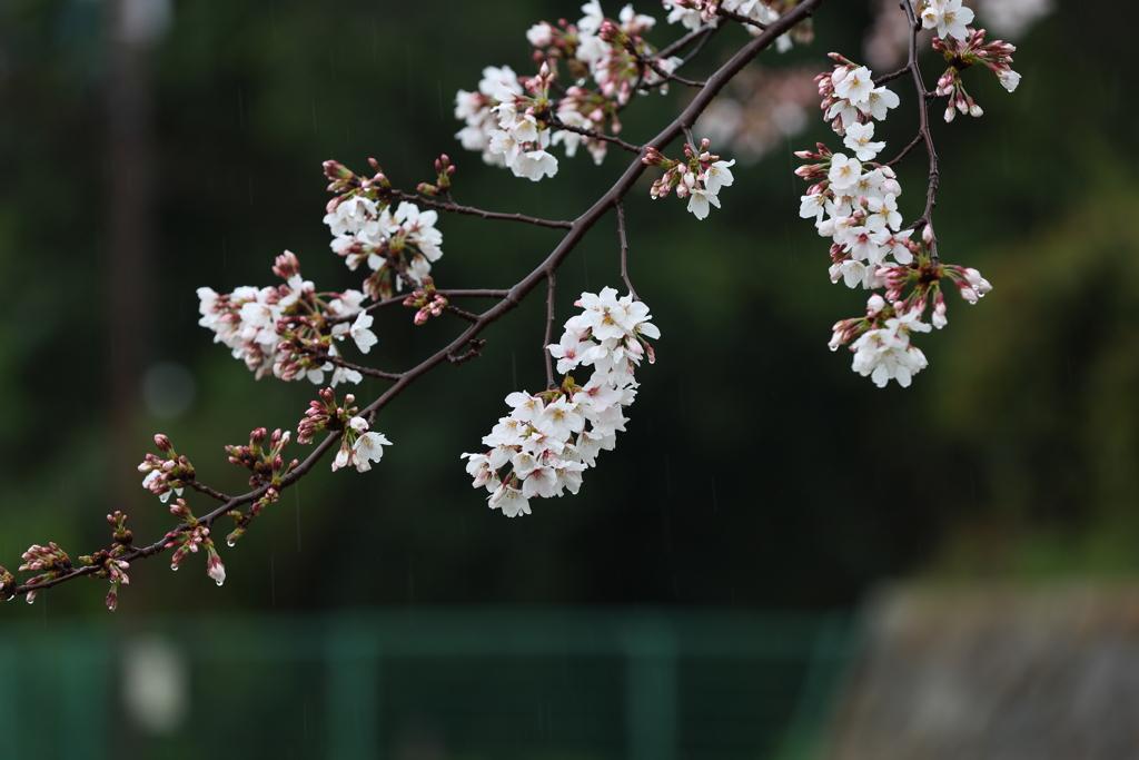 3月28日 明石公園 3