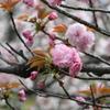 4月3日 夙川 4