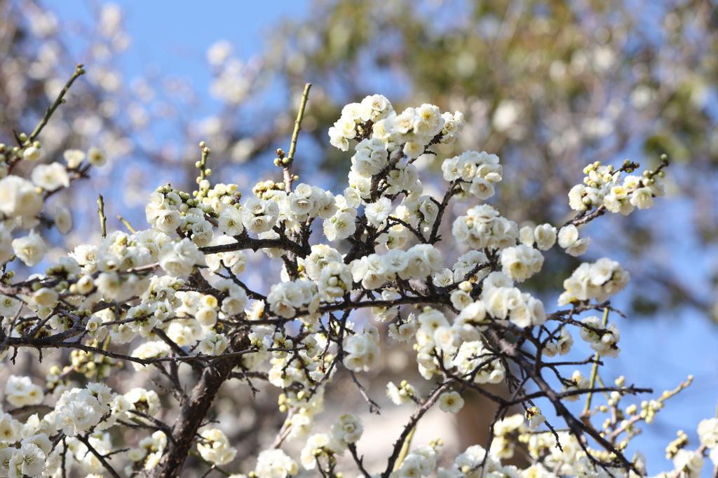 2月13日 岡本梅林公園 12