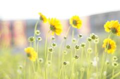 空き地に咲いた、陽だまり色の花。