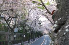 伊豆桜並木