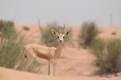 Dubai 砂漠