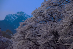 桜、夜が明ける前に