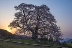 千年桜の朝