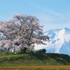 今回の最北点の桜