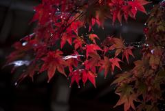 紅葉はいつも雨