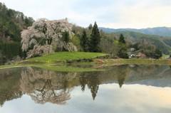 与一野のしだれ桜2