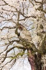 下の方は葉桜