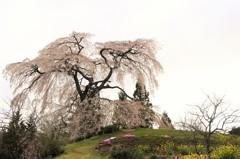 与一野のしだれ桜3