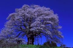 月明かりの醍醐桜