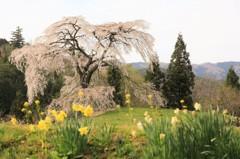 与一野のしだれ桜1