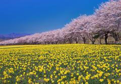 桜並木VS水仙