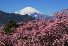 爽快な富士と河津桜Ⅳ
