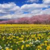 水仙畑と桜並木