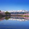 高田公園桜並木