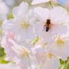 虫的桜の楽しみ方