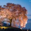 揺らぐ桜ピンク