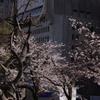 噴水と桜 2