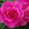 薔薇 31 山下公園 5月