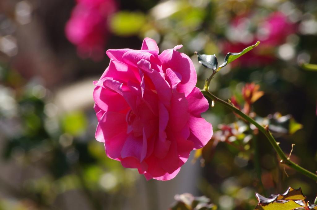 薔薇 11