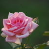 薔薇 6 日比谷公園 7月上旬