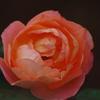 薔薇 23