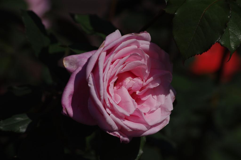 薔薇 25